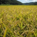 稲の生育視察
