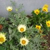 咲いています、カザニア