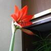 咲き始めました、アマリリス!