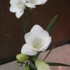 フリージアが開花
