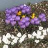 クロッカスの花、三色