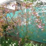 配達先で見つけた桜