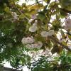 白に近いピンク色の桜