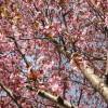 お隣の桜No.3