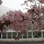 2007年の桜も満開!