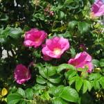 はまなすの花