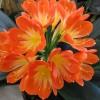咲いています、君子蘭