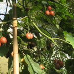 色づき始めたコダチトマト