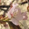 サクラが咲き始めました~