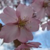 お隣りの桜