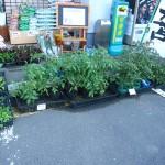 花・野菜の苗続々入荷