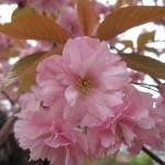 八重桜 室蘭