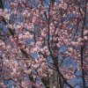 苫小牧市立中央図書館の桜