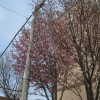 お隣の桜も開花