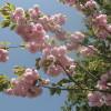 咲いています、桜