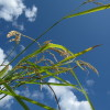 美苫の稲刈り 2011