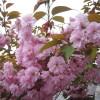 桜がまだ咲いています。