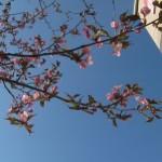 桜三昧 2012