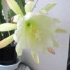 サボテンに白い花
