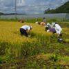 稲刈り体験参加募集中