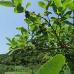 ハスカップの収穫、初体験