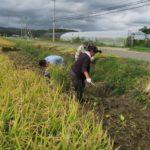 美苫の原料米の稲刈り~♪